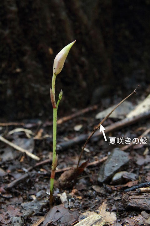 秋咲きのマヤラン新芽  傍らには、7月初旬に咲いた夏咲きの殻がありました
