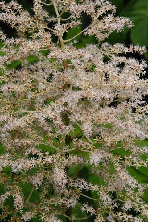 ヤグルマソウの花 花弁に見えるのは萼片