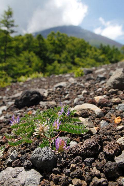 火山岩に覆われた痩せた地面に咲く。 後方は富士山