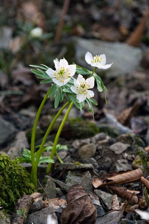 シロバナセツブンソウ  セツブンソウの白花品種