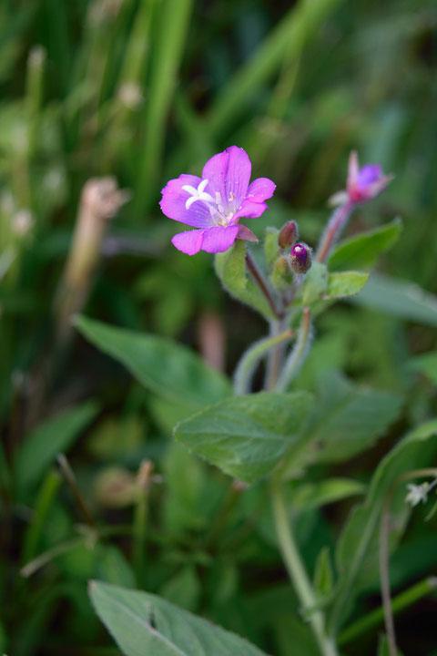 オオアカバナは、柱頭が4つに分かれるのが特徴。 花は大きく直径15〜18mm
