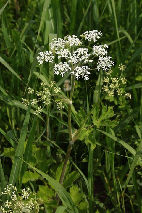 ハナウド (花独活) セリ科 ハナウド属  2mにもなりますが、ここでは1mほど