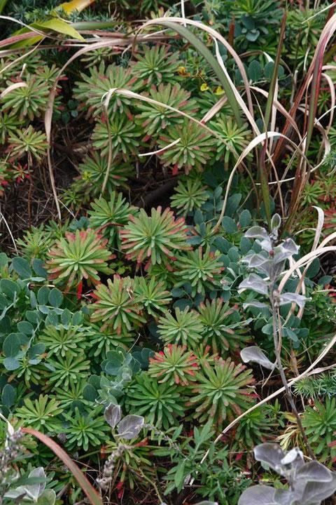 ハギクソウ (葉菊草) トウダイグサ科 トウダイグサ属 草紅葉は始まったばかり