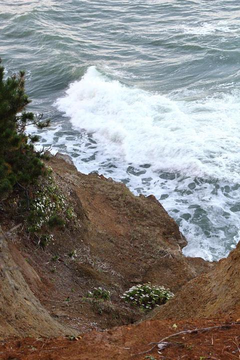 人が近寄れないような海岸の崖にハマギクが咲いていた