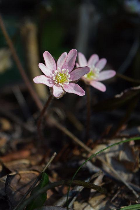 ピンク色を帯びた花は少ないですた、いくつか見つかりました