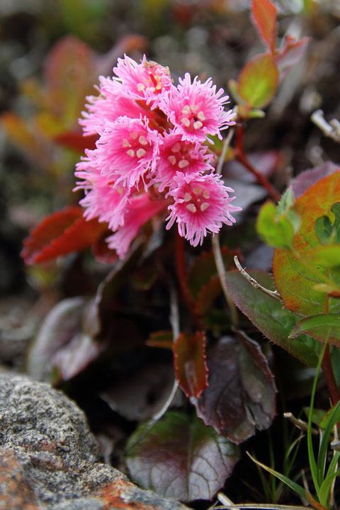 こちらはイワカガミ  最もイワカガミらしいと思える花色はこんな色