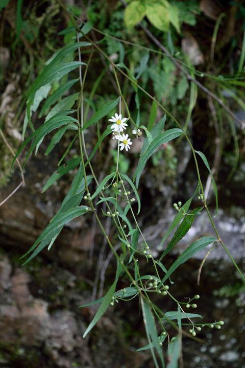 ナガバシロヨメナ (長葉白嫁菜)  シロヨメナの渓流型変種 葉が細いのが特徴