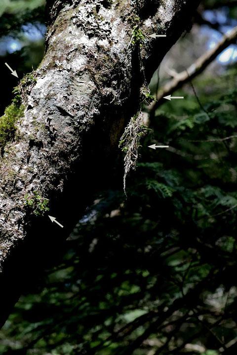 やっと目的の木が見つかった。マツランがいくつもついていた(矢印部)