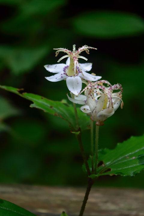 花が若くまだ花被片が反曲していないヤマホトトギス? 花糸下部に斑点有り