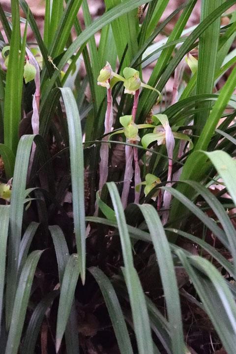 シュンラン 株としても大きいが、個々の花も長身で立派なものでした。