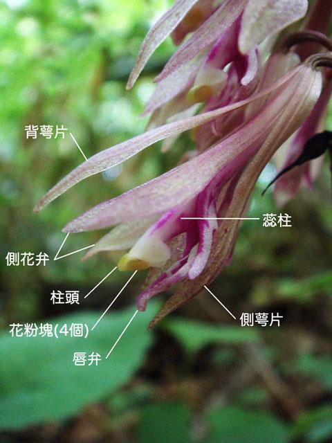 サイハイランの花の構造  2007.06.03 新潟市