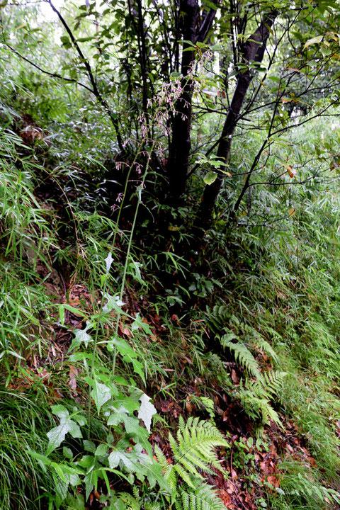 ムラサキニガナ (紫苦菜) キク科 ムラサキニガナ属  高さ1.7m以上の株も