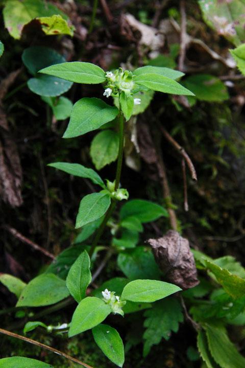 ハシカグサ (麻疹草) アカネ科 ハシカグサ属