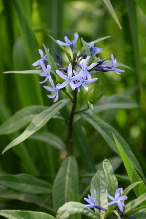 チョウジソウ 爽やかブルーは、有毒植物でもあります。 触れる程度なら大丈夫。