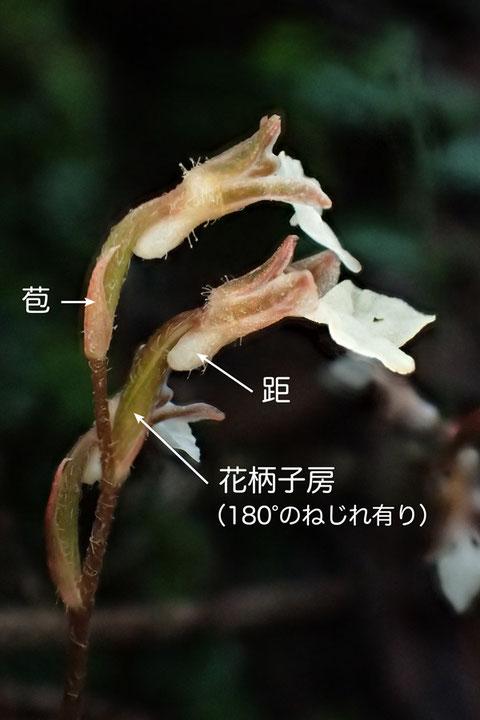 ヤクシマヒメアリドオシランの花の側面  花柄子房にねじれが確認された