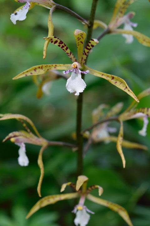 トケンランの萼片と側花弁は細長く、先はとがってシャープな感じ。紫色の斑点があります
