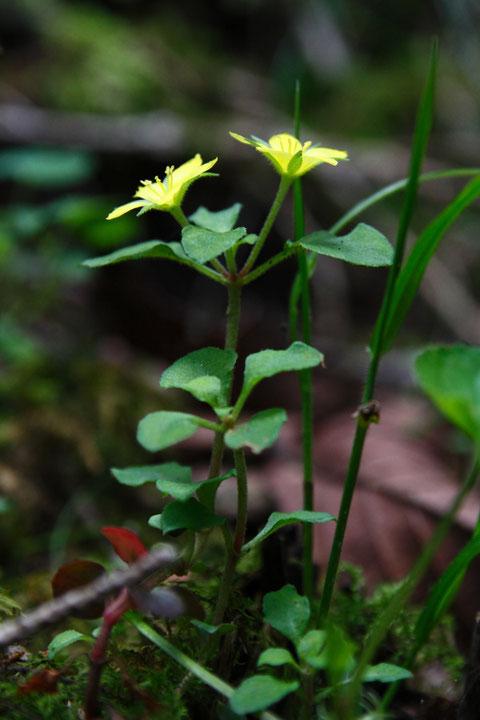 ナガエコナスビは、花柄の長さが6〜18mmと、普通の小茄子(3〜8mm)より長いのが特徴
