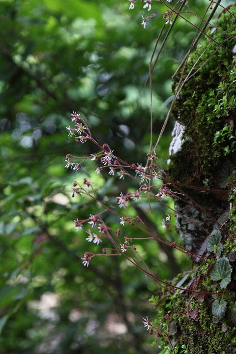 #17 花の季節に筑波山を訪れたら、ぜひこの可愛いホシザキユキノシタを見て下さい