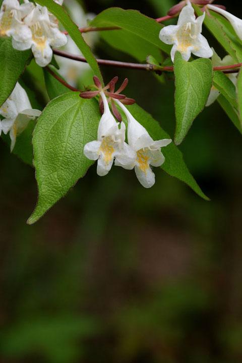 ツクバネウツギの花  5個の萼片は同じ長さ