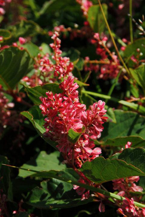 フジイタドリの中でも花が赤いものはメイゲツソウの別名があります