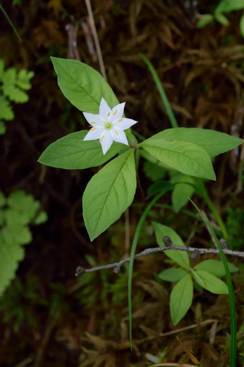 ツマトリソウもかわいい花です。 花弁の縁のピンク色は薄かった
