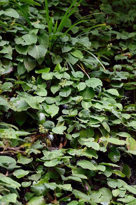 イワユキノシタと思われる植物が、岩肌の右側を埋め尽くしていた