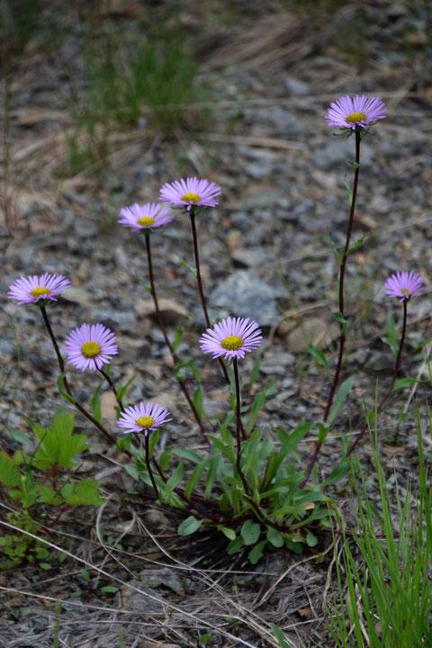 ミヤマアズマギク (深山東菊) キク科 ムカシヨモギ属  アズマギクの亜種