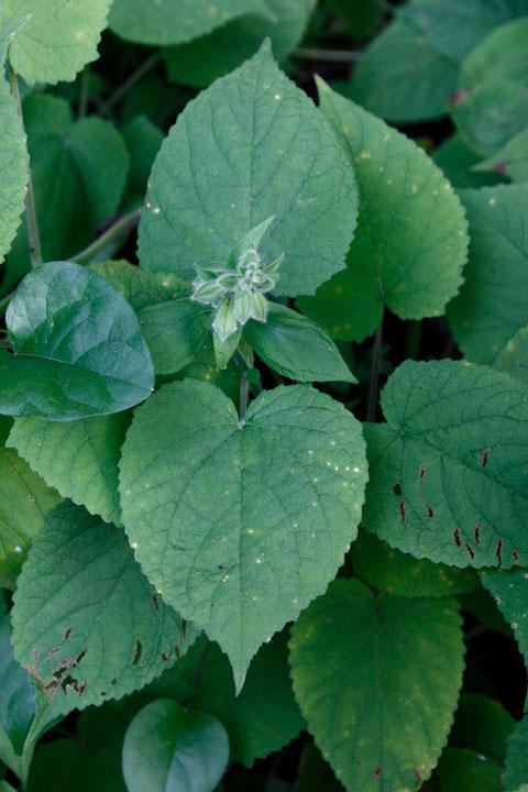 きれいな円心形の葉が多いが... 基部が角張る葉を持つ個体もあった(下の写真)