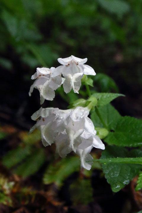 シロバナラショウモンカズラ 花の正面