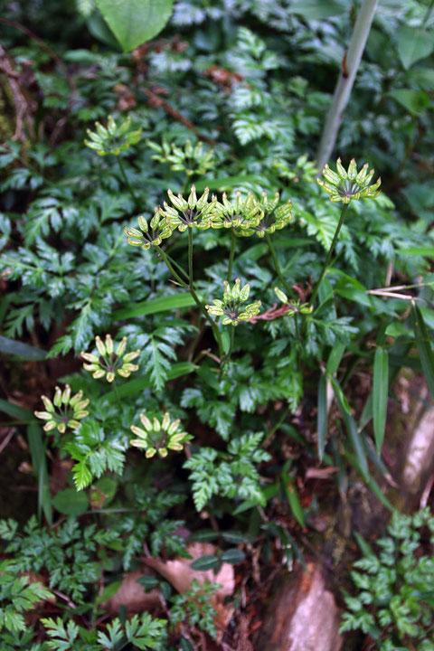 果実期のセリバオウレン 葉が元気で地面を覆い尽くすようだった
