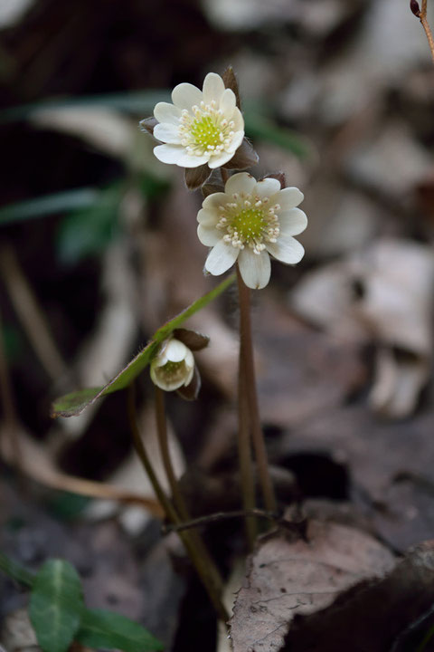 2月前半に咲き出しているなんて、とても早い。 開花したての花もありました