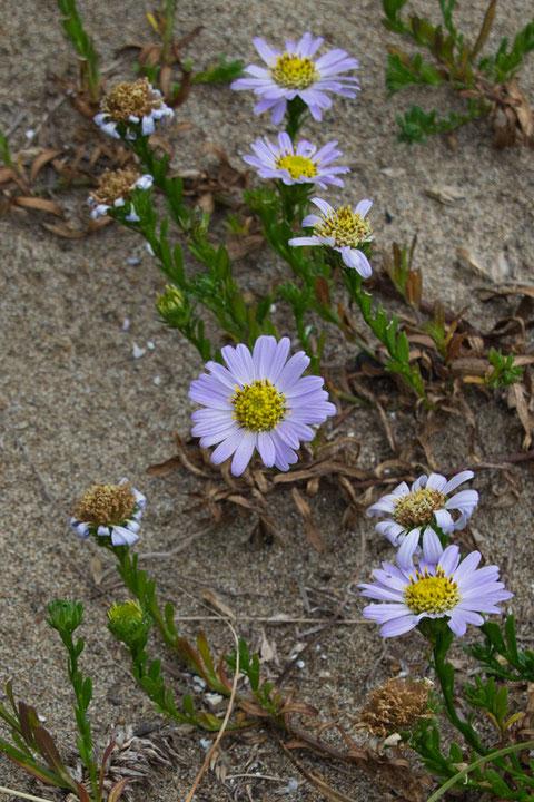 ハマベノギクの舌状花が丸みを帯びた花は花弁の数も多く、花弁の間の隙間がなかった