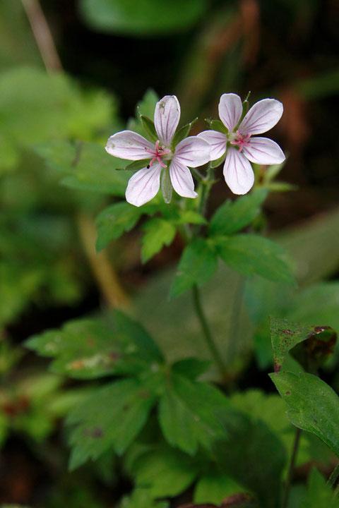 ゲンノショウコ (現の証拠) フウロソウ科 フウロソウ属 とても可愛い花です