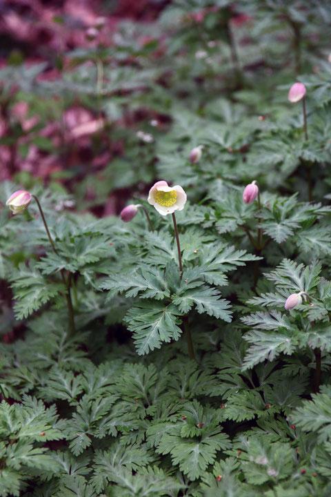 イチリンソウ これから開花しようとしている花も多く、ちょっと嬉しくなった