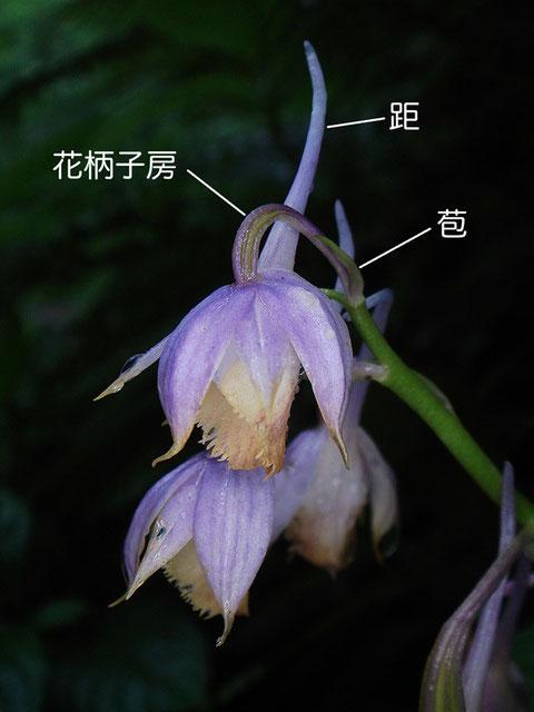 キソエビネの花柄子房、距、苞