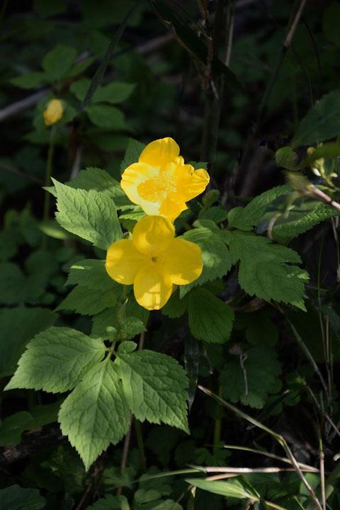 ヤマブキソウ  しかし名の由来は花色がヤマブキに似ているからだそう