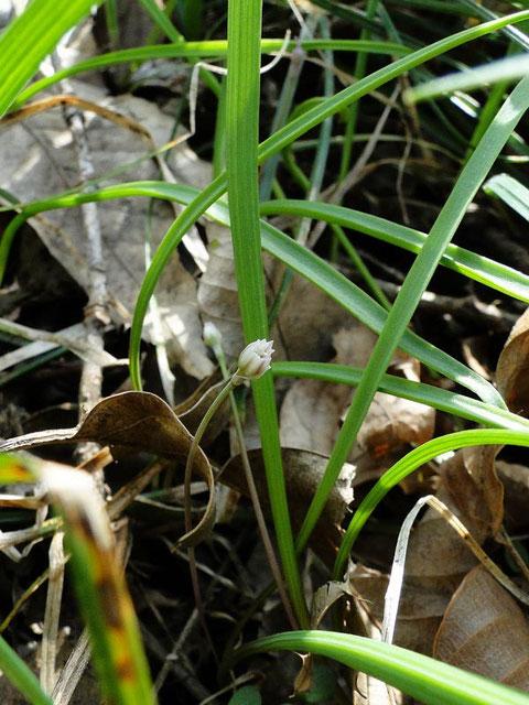 ヒメニラ (姫韮) ネギ科 ネギ属  雌雄異株