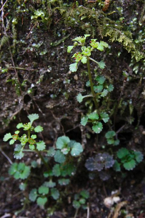 イワネコノメソウ (岩猫の目草) ユキノシタ科 ネコノメソウ属
