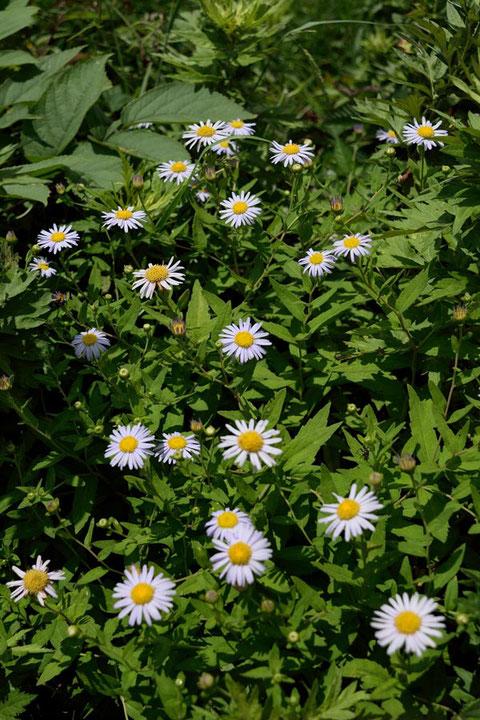 ハコネギク (箱根菊) キク科 シオン属  見頃な状態でたくさん咲いていた