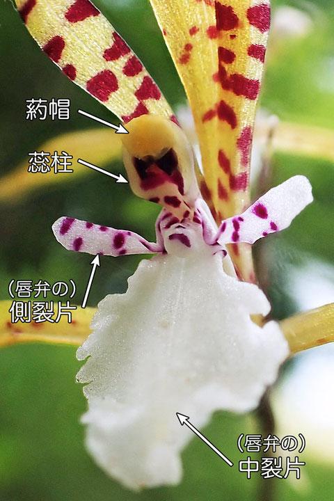 #10 トケンランの花の中心部