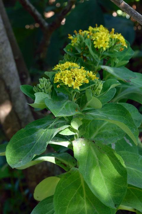 高さは30〜60cm。側枝の先に頭花を密につけます