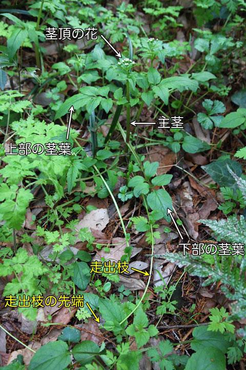 ツルカノコソウ (蔓鹿の子草) スイカズラ科 カノコソウ属 走出枝を伸していた