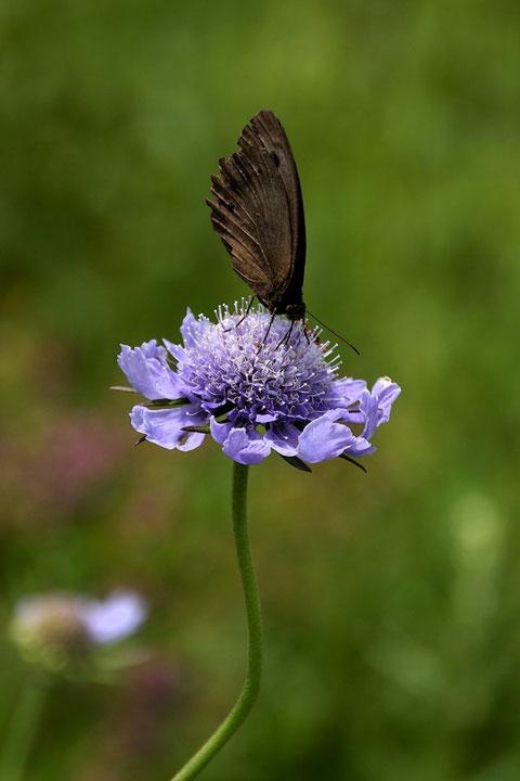 チョウの仲間も多くマツムシソウに集まっていた