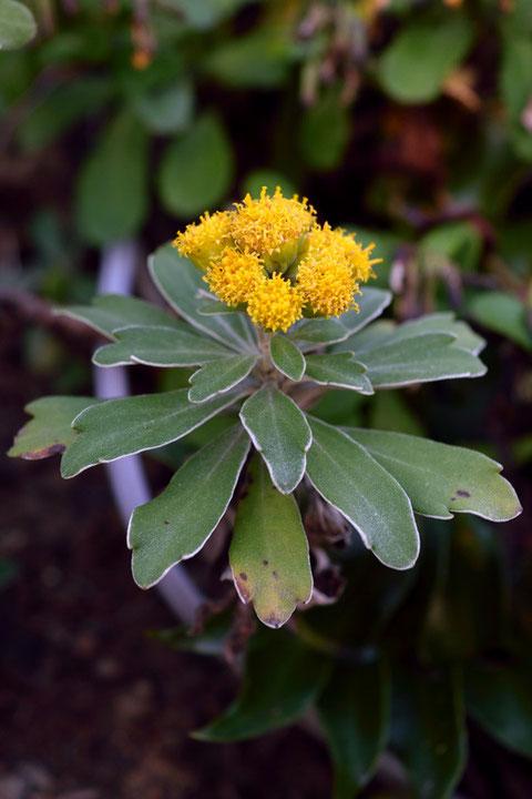 キイシオギク (紀伊塩菊) キク科 キク属  お初の花です。イソギクにそっくり