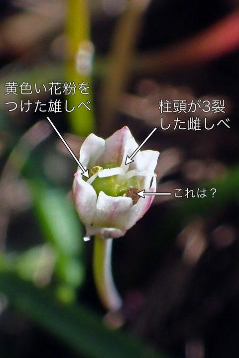 ヒメニラ 1個の雄しべが見える花があった! 柱頭もあるので両性花ですね。 お初です。