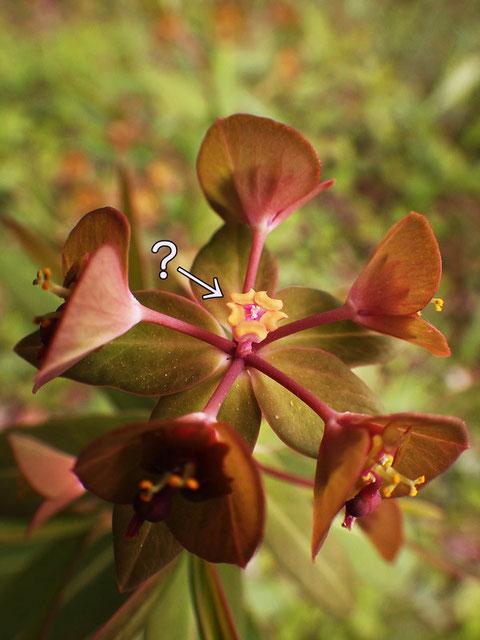 センダイタイゲキ 中央の花は苞と雌花がなく、腺体が5個ある。周りの花は腺体が4個