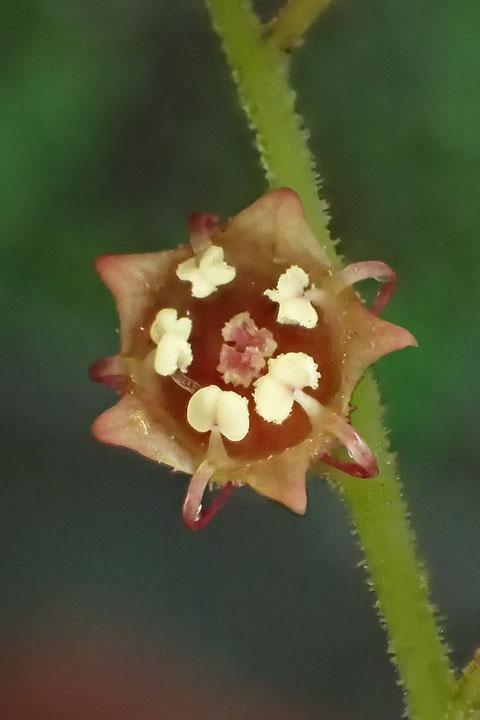 #9 タキミチャルメルソウの雄しべの花糸は、花弁に隣接して生えている