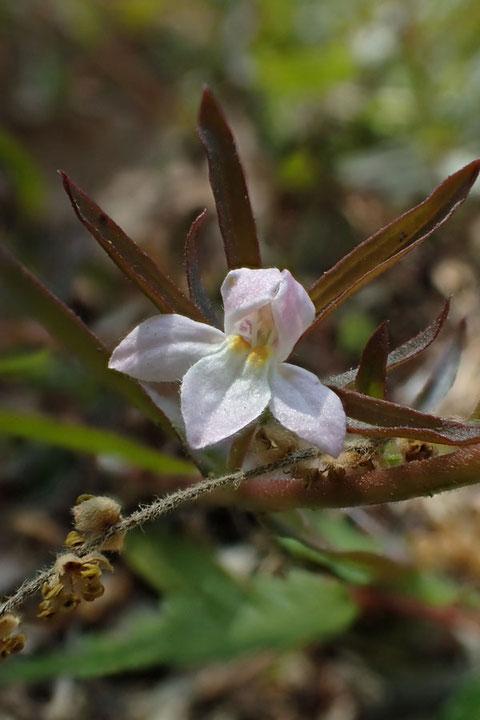 クチナシグサの花  小さいけど、とてもかわいい花なのです。