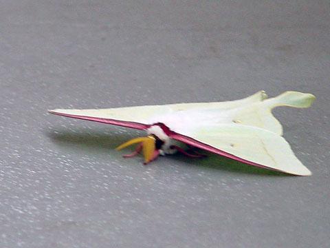 オオミズアオ 2003.06.04 東京都小平市