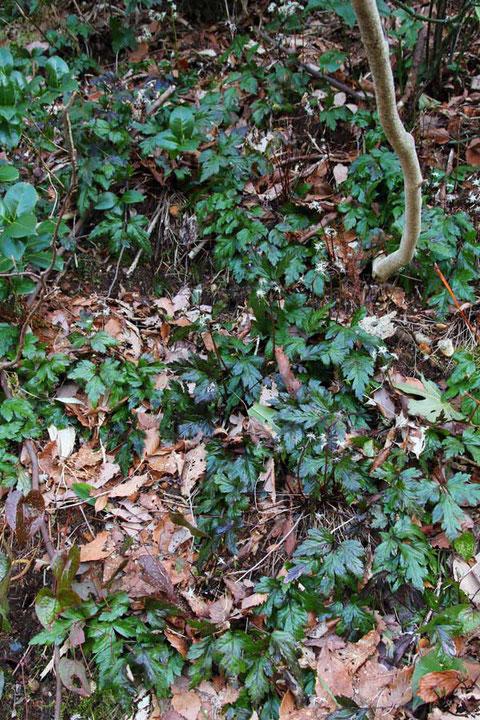 オウレン (黄蓮) キンポウゲ科 オウレン属 艶のある葉が斜面を埋め尽くしていた
